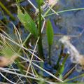 トウゴクヘラオモダカの葉