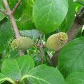 ワロウバイの果実