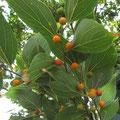 エノキの果実