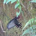 ジャコウアゲハの産卵(ウマノスズクサ)
