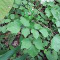 シギンカラマツの葉