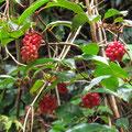 サネカズラの果実