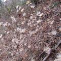 ナガバノコウヤボウキの種子