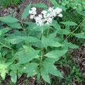 ヒヨドリバナの葉