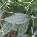 カントウヨメナの葉