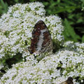 サカハチチョウ(夏型)と不明