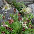 オキナグサの種子