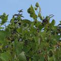 イシミカワの果実