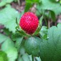 ヤブヘビイチゴの果実