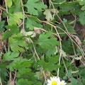 リュウノウギクの葉