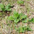 ヒメザゼンソウの葉