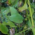 サジオモダカの葉