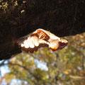 ジャコウアゲハの蛹(お菊虫)