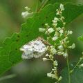 マダラエダシャクの1種とイタドリ(上高地梓川河畔)