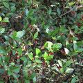 ヤブコウジの果実