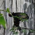 オオバウマノスズクサに産卵中のジャコウアゲハ