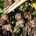 ナンバンギセルの種子
