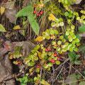 テリハノイバラの果実