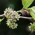 ヒメコウゾの雄花