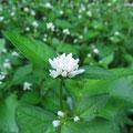 ミゾソバ(白花)