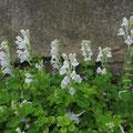 コバノタツナミ(白花)