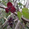 ミツバアケビ(大きいのが雌花、小さいのが雄花)