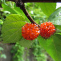 ヒメコウゾの果実