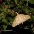ノメイガの1種とイロハモミジ