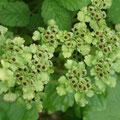 ヤマネコノメソウの種子