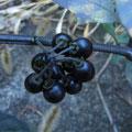イヌホオズキの果実
