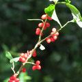 オニシバリの果実