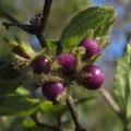 ヤブムラサキの果実