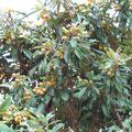 ビワの果実