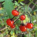 ヒヨドリジョウゴの果実(拡大)