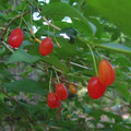 ウグイスカグラの果実