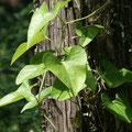 オオバウマノスズクサの葉