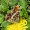 サカハチチョウ(春型)とカントウタンポポ