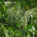 イヌザクラ:花序枝に葉が付いていない
