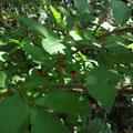 ニシキギの果実