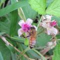 ナワシロイチゴとミツバチ