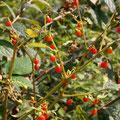 ハダカホオズキの果実