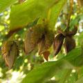 イヌブナの果実