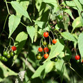 マルバノホロシの果実