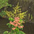 オオモクゲンジの花と果実