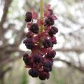ミツバアケビ雄花