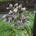 ガガイモの白花