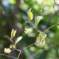 サルトリイバラの雌株