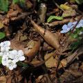 ヤマルリソウ(白花と瑠璃花の比較)