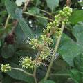 ヤマブドウの蕾