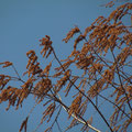 メタセコイアの雄花